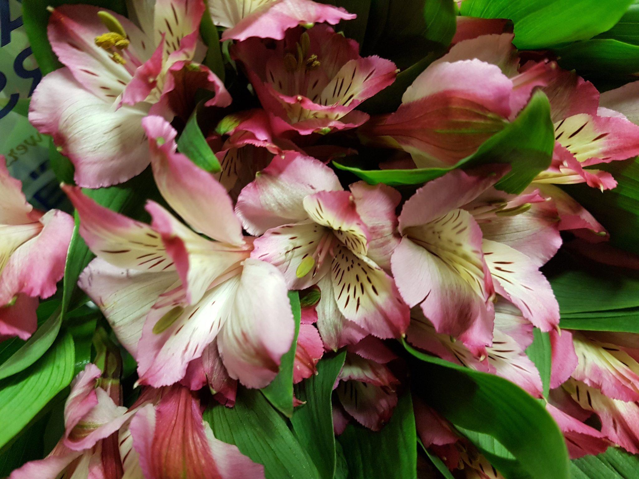 Bulk alstroemeria peruvian lily pink bunch of 50 stems toronto bulk alstroemeria peruvian lily izmirmasajfo